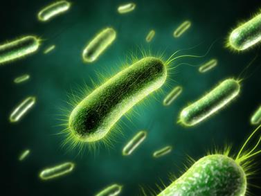 Bakterien in einer Reinkultur