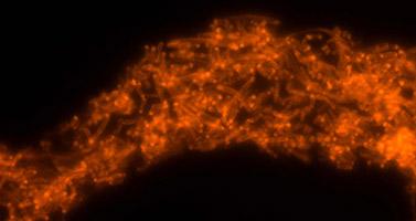 Analyse mit VIT®: alle bierschädlichen Milchsäurebakterien leuchten